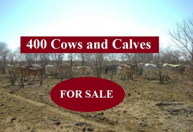 400 Cows and Calves (FOR SALE)