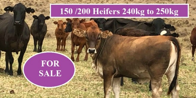 150 / 200 HEIFERS FOR SALE