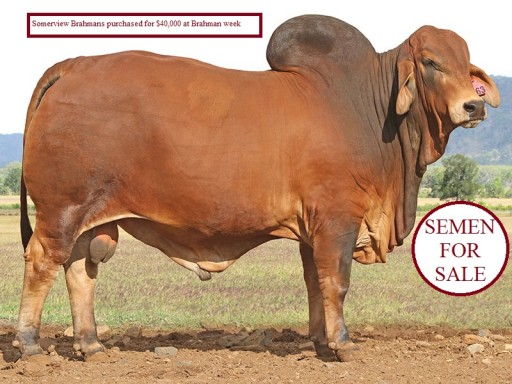 Somerview Red Brahman Stud
