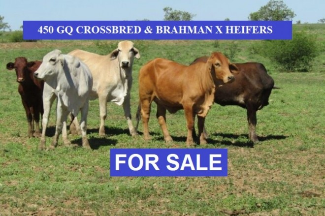 450 GQ CROSSBRED & BRAHMAN CROSS HEIFERS