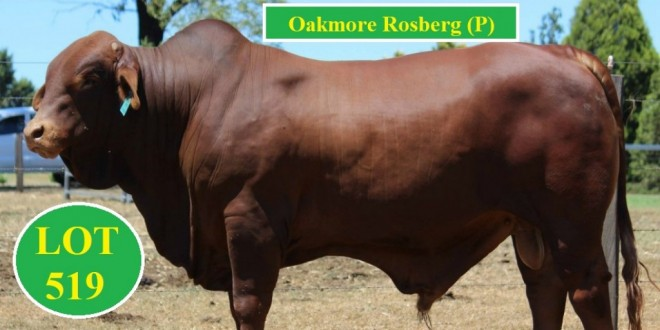 Oakmore Park Droughtmasters Feb all Breeds